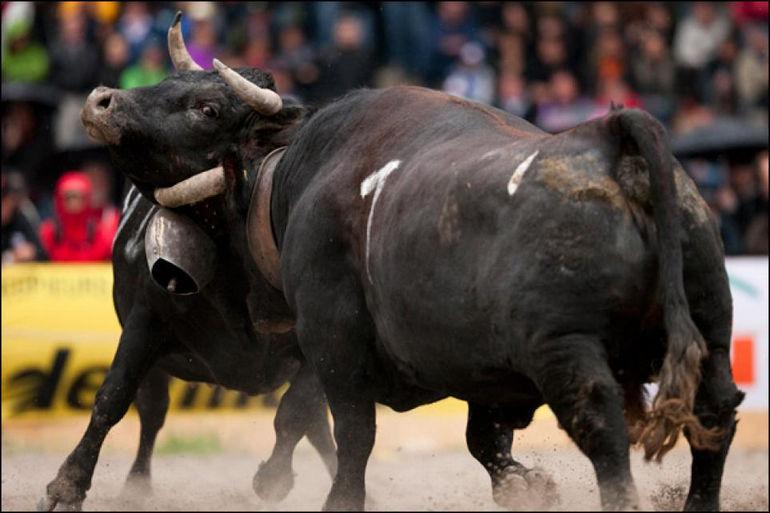 Бои королев: когда на ринге коровы (Швейцария)
