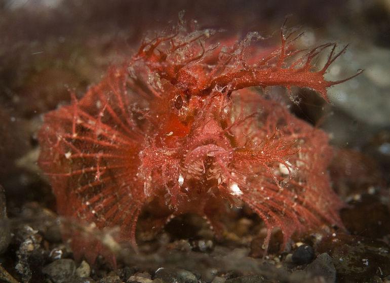 Ambon_scorpionfish_JRM