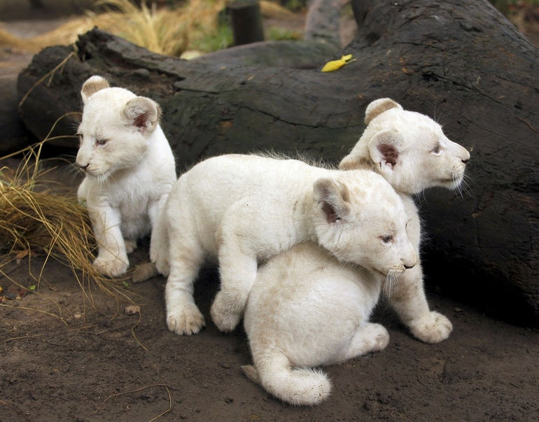 Three one-month-old white lion cubs are seen in their enclosure at the Buenos Aires zoo January 5, 2011. REUTERS/Enrique Marcarian (ARGENTINA - Tags: ANIMALS IMAGES OF THE DAY)