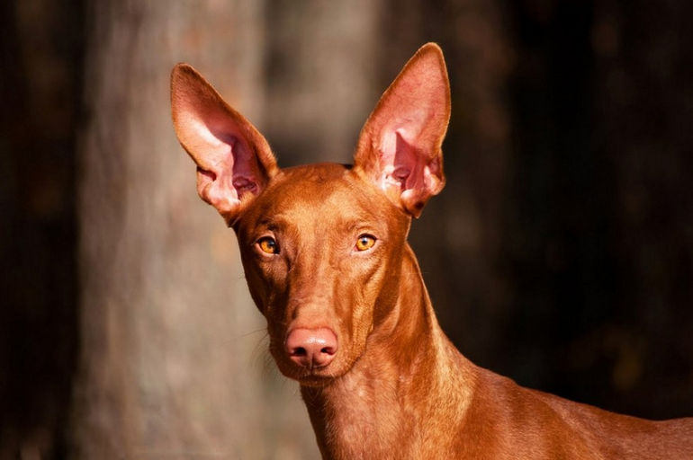b_0_650_00___images_dogs_faraon-dog-1