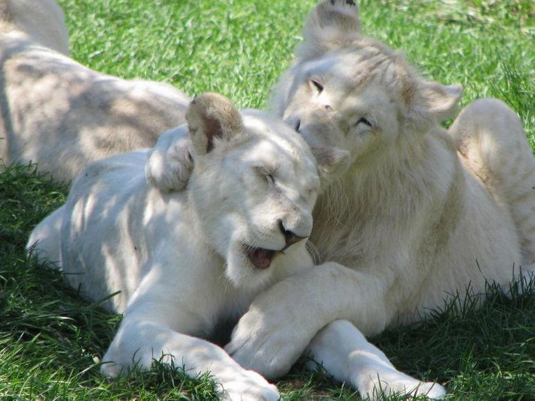 happy-white-lion-family