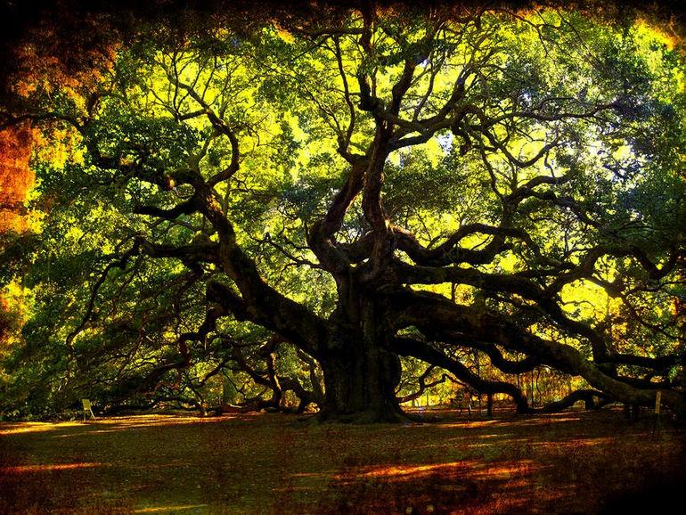 1330534868_old-old-angel-oak-in-charleston-susanne-van-hulst
