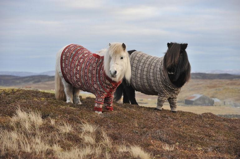 Shetland-Ponies_www.pixanews.com-3