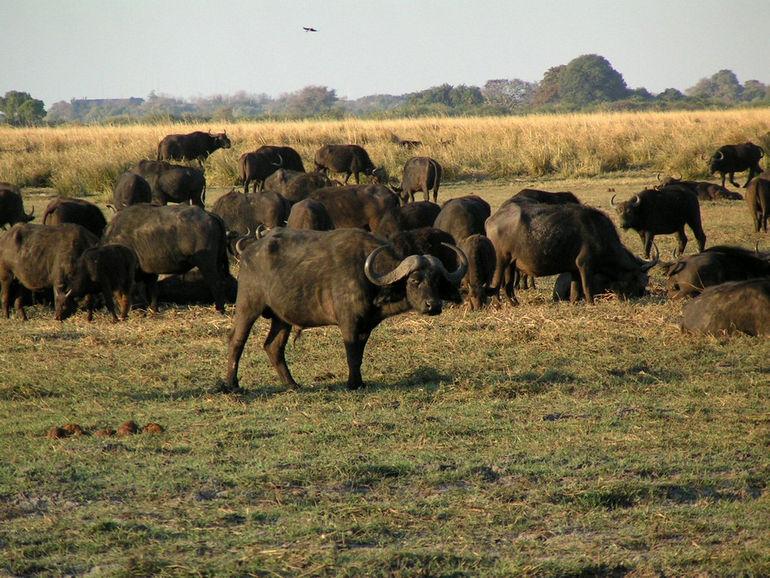 Bufalos_Chobe_Botswana
