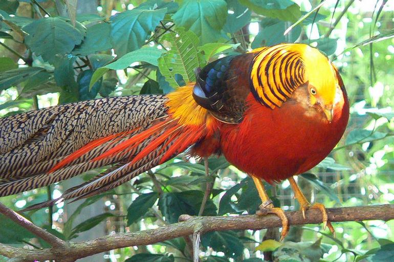 Chrysolophus_pictus_-Parque_das_Aves,_Foz_do_Iguacu,_Brazil_-male-8a