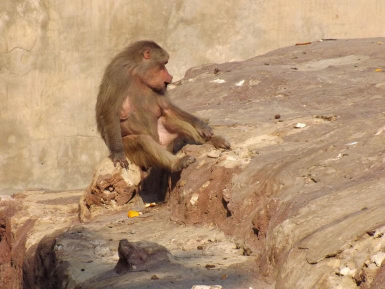 Hamadryas_Baboon_at_Alex_zoo_by_Hatem_Moushir_12