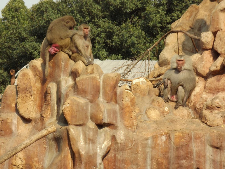 Hamadryas_Baboon_at_Alex_zoo_by_Hatem_Moushir_13
