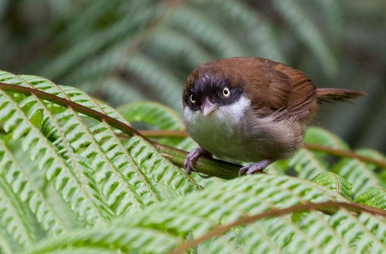 Rhopocichla_atriceps_-Sinharaja_Forest_Reserve,_Sri_Lanka-8 (1)