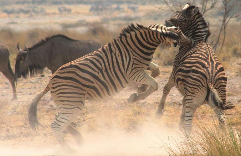 a_zebra-a