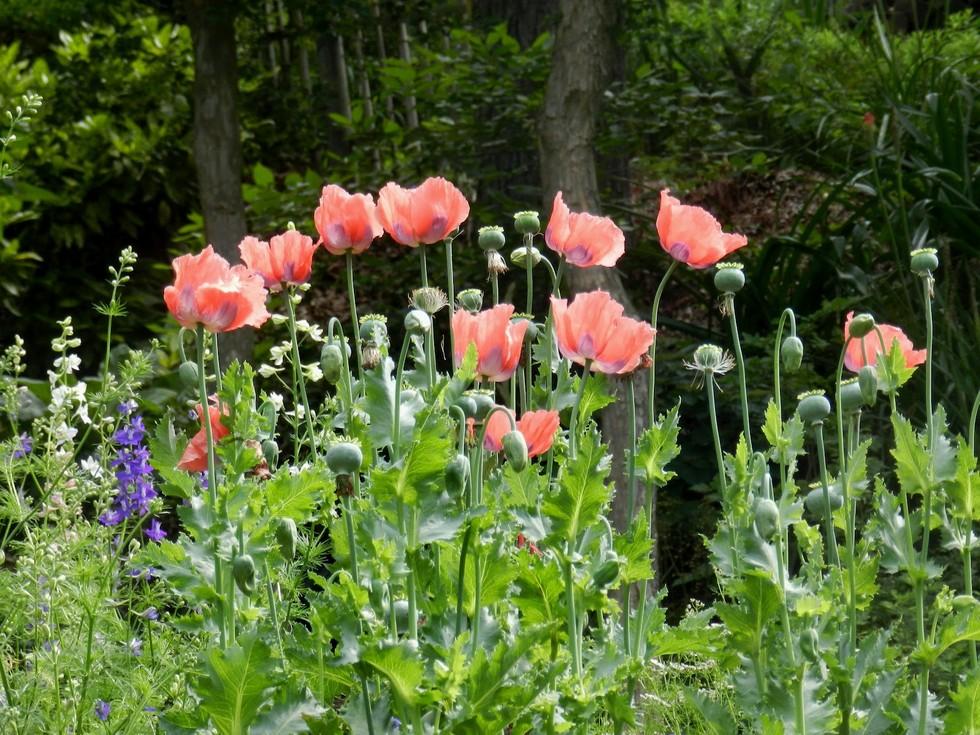 poppies again