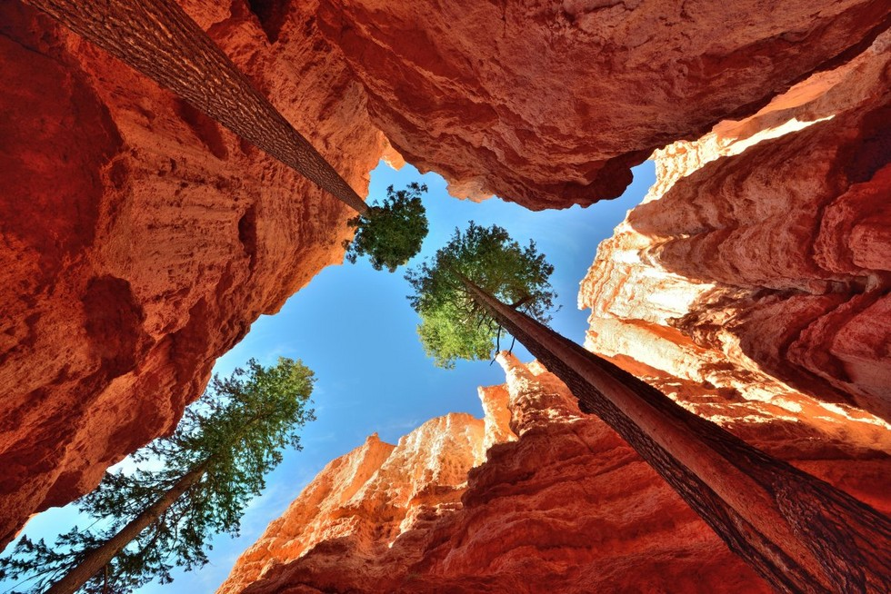 towering-ponderosa-pines-are-seen-in-bryce-canyon-national-park-in-utah-chasms-in-the-rock-are-formed-when-water-freezes-and-expands-gradually-pushing-the-rocks-apart-and-creating