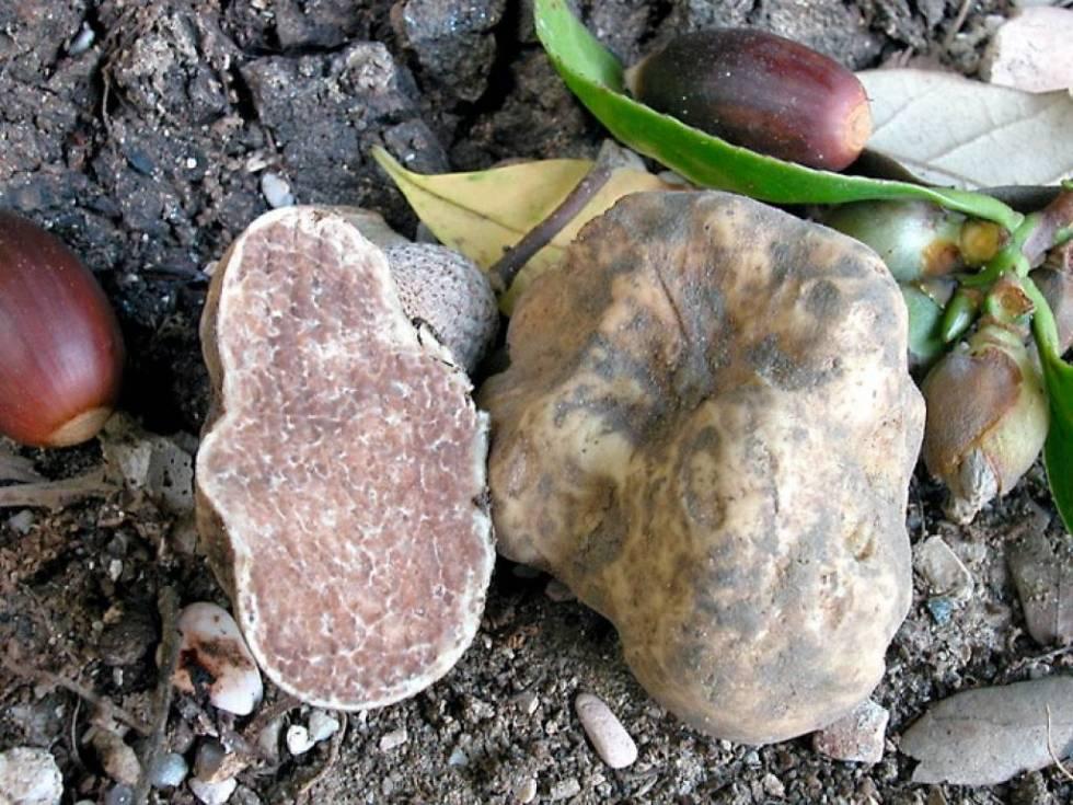 verse-witte-truffel-tuber-magnatum-pico