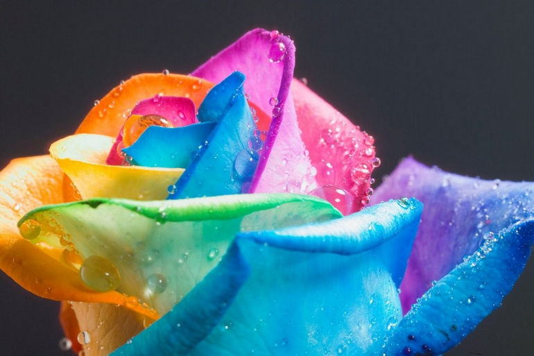 FAMOUS_perfect_Rainbow_Rose_by_HappyRoses
