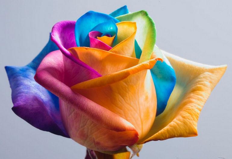 Lovely Rainbow Rose Pics