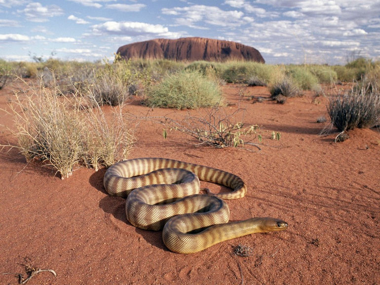Woma-Python-Uluru-National-Park-Australia