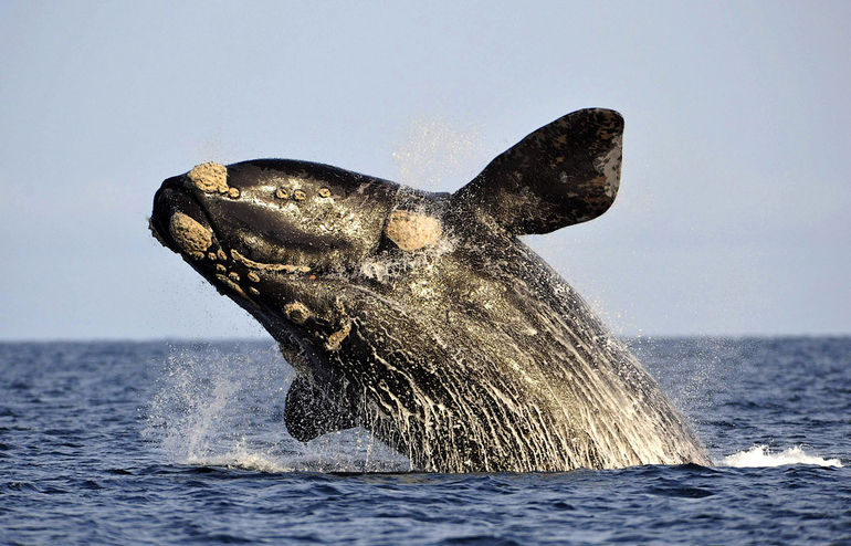 A southern right whale, known in Spanish as ballena franca austral, jumps off the water in the Atlantic Sea, offshore Golfo Nuevo