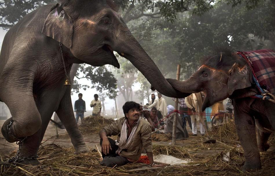 «Сонепур Мела»: традиционная ярмарка слонов в Индии