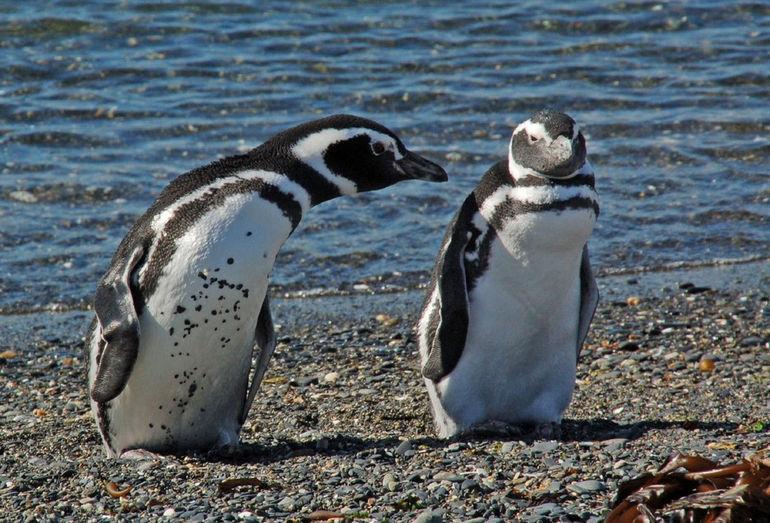 pinguino-punta-valdes