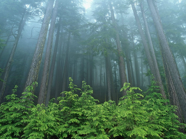 Evergreen-Forest-Olympic-National-Park-Washington