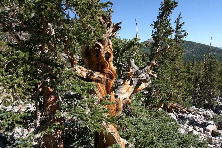 Bristlecone Pine (1)
