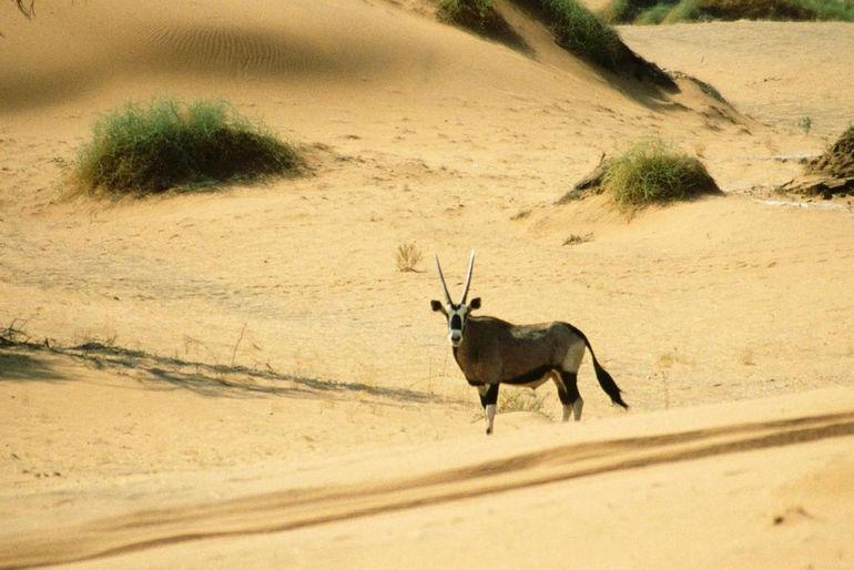 Oryx_Gazella_Namib_Desert