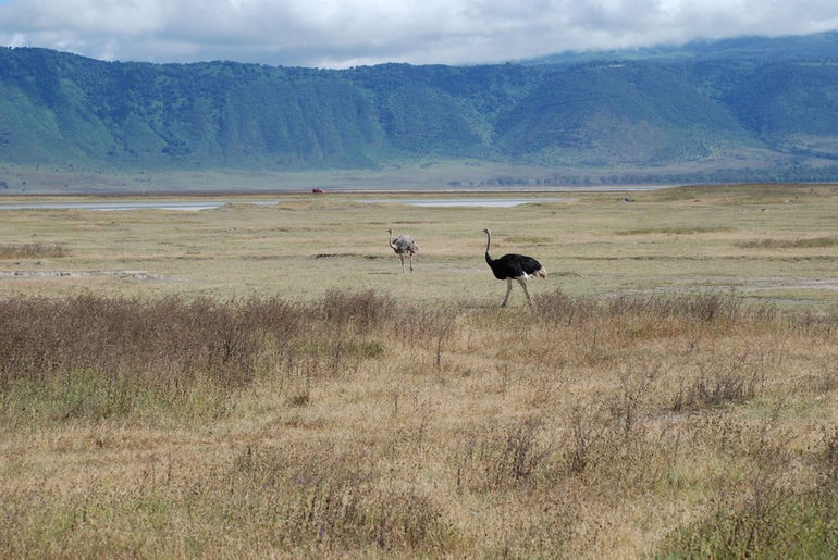 Ostrich_at_Ngorongoro_Crater