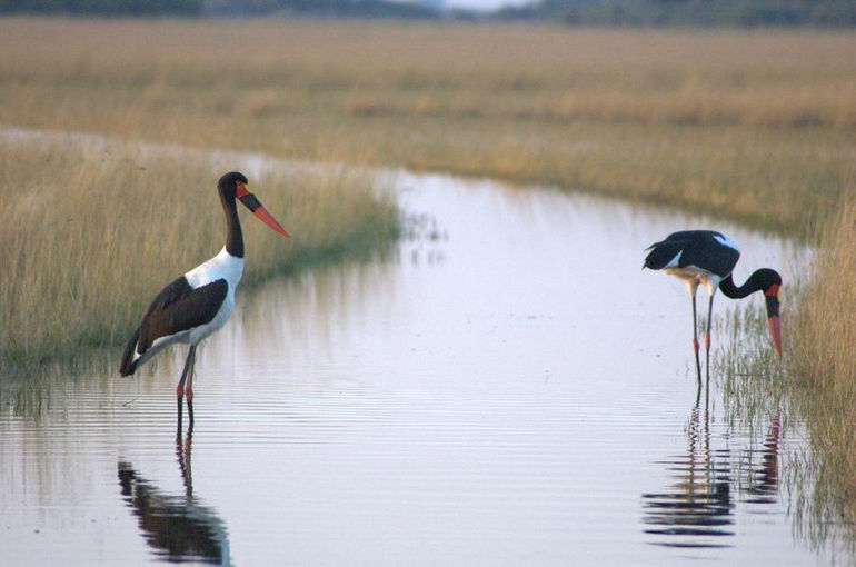 Saddle-billed-storks-in-Okawango-delta