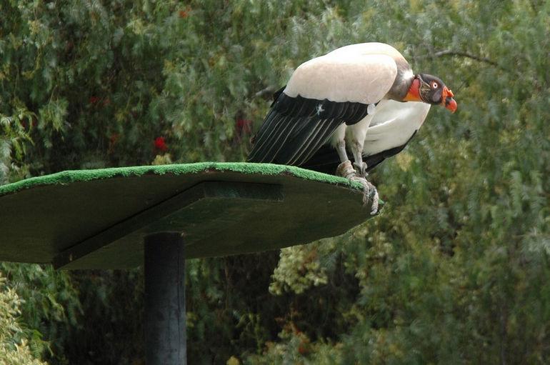 Sarcoramphus_papa_-Las_Aguilas_Jungle_Park,_Tenerife,_Spain-8a