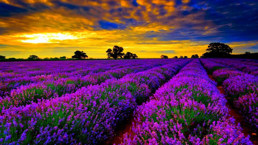 lavender-field-225224