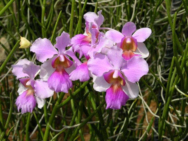 Singapore 05 05 Singapore Botanic Gardens National Orchid Garden vanda Miss Joaquim Orchid