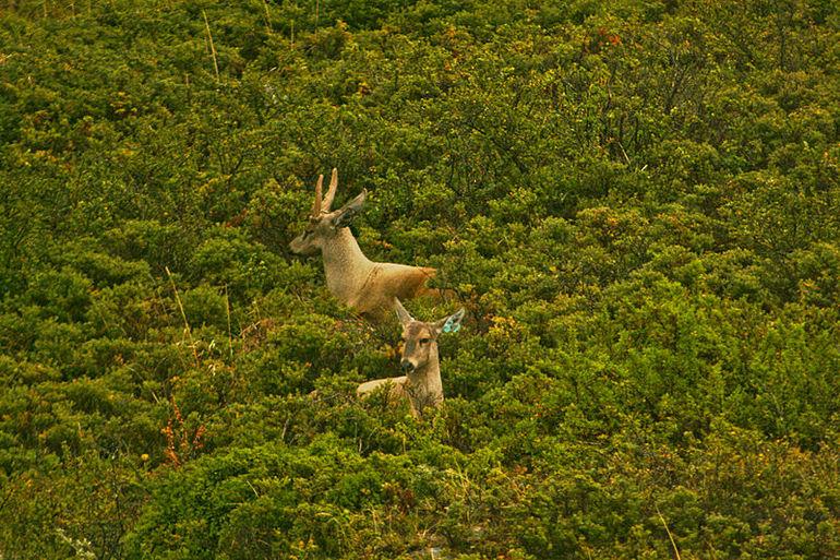 800px-Hippocamelus_bisulcus,_Parque_Nacional_Torres_del_Paine,_Chile