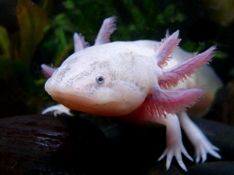 Axolotl8