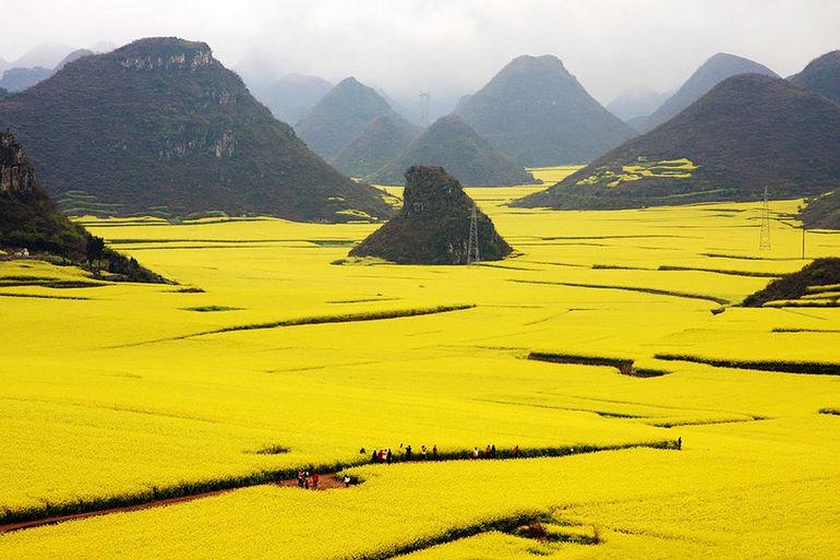 Canola Flower Fields, China 1