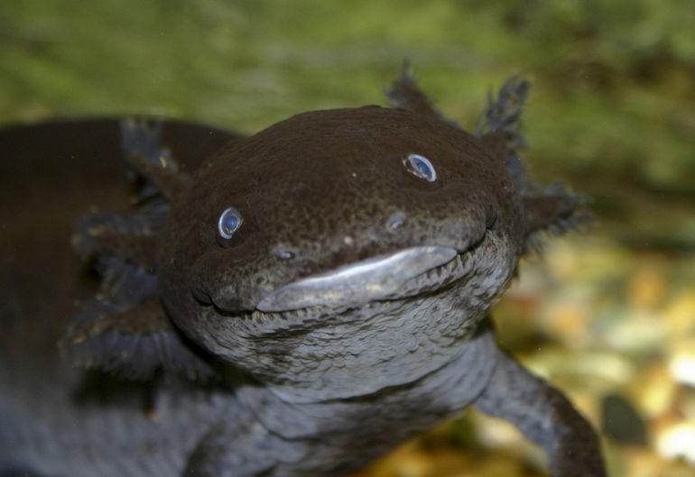 axolotl_black