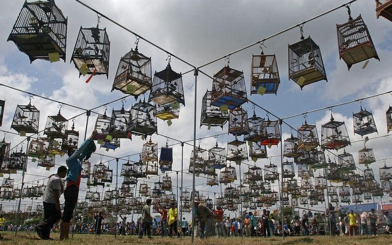 Конкурс певчих птиц: накал страстей на фоне птичьих голосов (Таиланд)