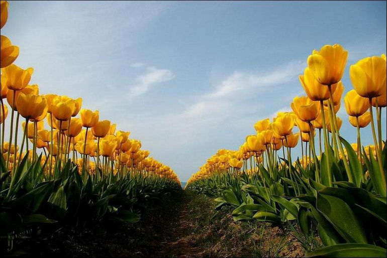 tulip_fields_01