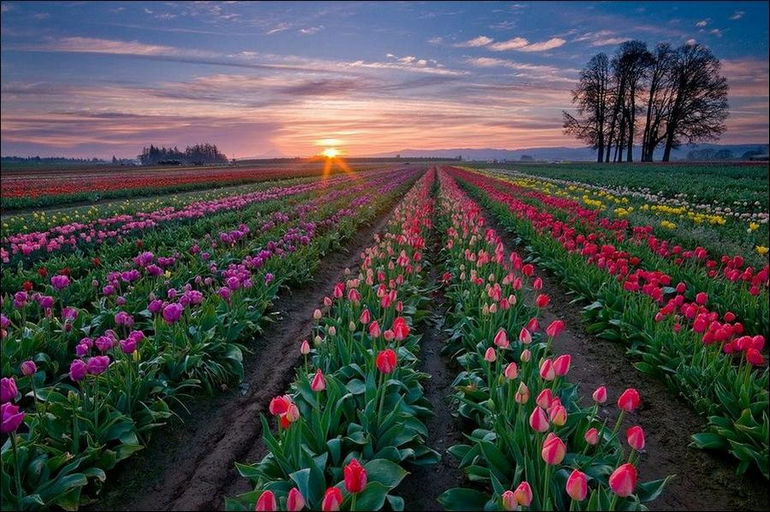 tulip_fields_02