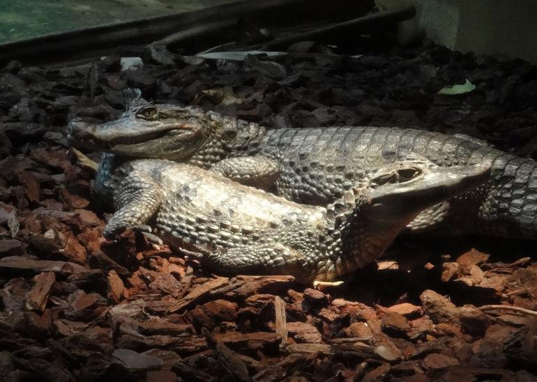 aquazoo-duesseldorf-krokodil