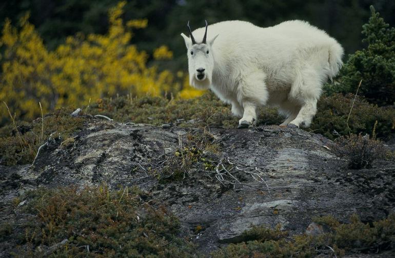 Goat-yes