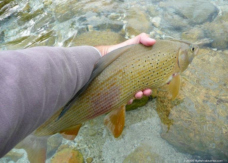 soca13_Grayling from the Soca river (1)