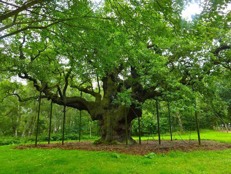 «Главный дуб»: тайное убежище Робина Гуда (Великобритания)