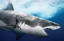 «Кафе белых акул» в Тихом океане