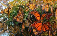 Биосферный заповедник бабочек Монарх (Мексика)