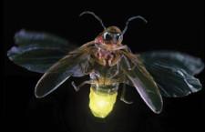 Лес уникальных жуков светлячков (США)