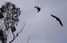 Парк Ярра Бенд: дом крыланов (Австралия)