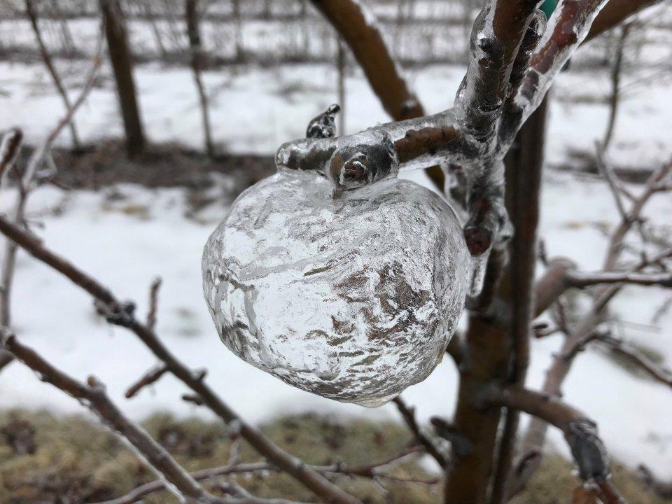 Ледяные «призрачные яблоки»