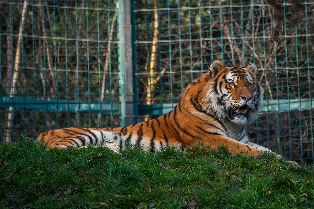 Тигр из дублинского Зоопарка.