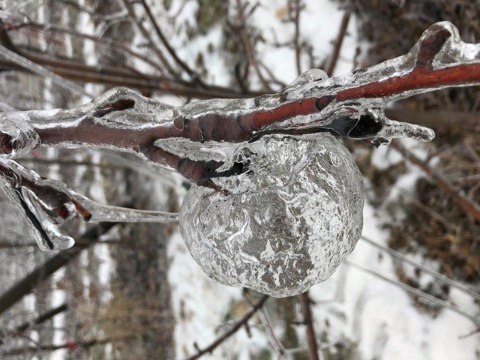 Яблоки висели до последнего, уже насквозь промёрзшие