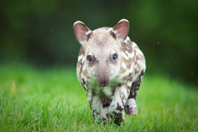 В Дублинском зоопарке родился детеныш бразильского тапира.