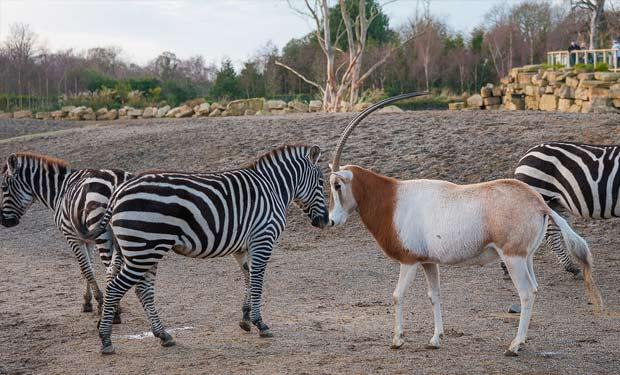 А там у зебр за зиму появились замечательные полосатые зебрята!